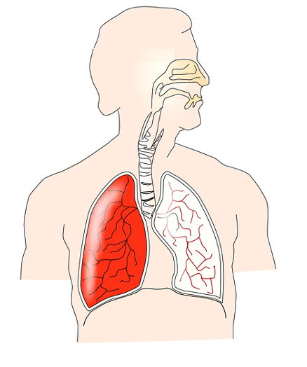 human lungs chest